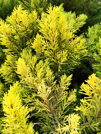 green cypress leaves, new shoots light yellow green on a dark green background for the background