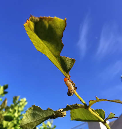 Caterpillar eats leaves aganst blue sky background