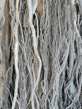 Roots' system of a Ficus Religiosa tree