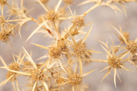Prickly dried branches close-up background