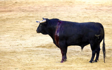 fighting bulls: TORO BRAVO LANZEADO DURANTE  CORRIDA DE TOROS Stock Photo