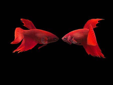 fish Betta Stock Photo