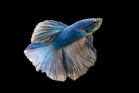 Fighting fish blue Stock Photo