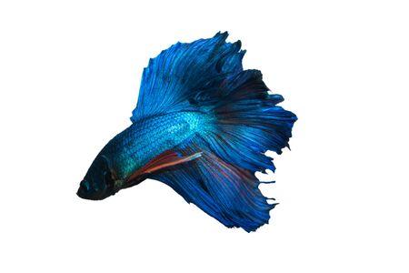 aquarium hobby: Fighting fish blue Stock Photo