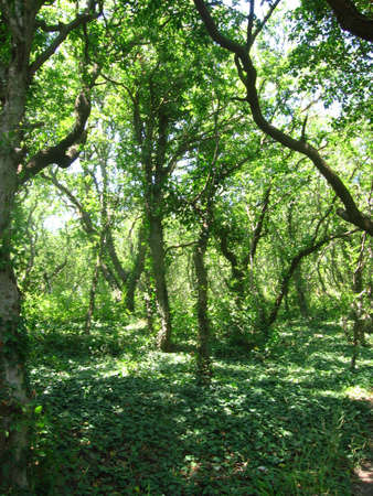 entwine: Green trees entwine of ivy in depth of forest.