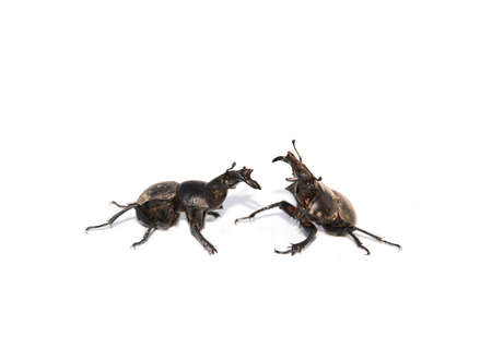precedence: Two bugs in a fighting pose ( on a white background)