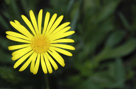 descriptive: Yellow flower (with the dim background from a grass)