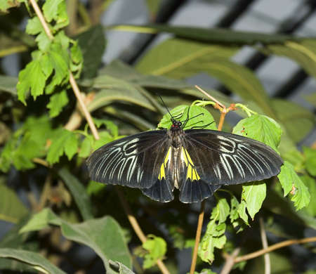 elaboration: The black butterfly (the tropical butterfly photographed close up with high detailed elaboration) Stock Photo