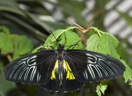 elaboration: The butterfly (the tropical butterfly photographed close up with high detailed elaboration)