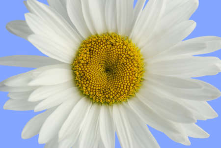 natural childbirth: Flower of a camomile (a close up, it is isolated)