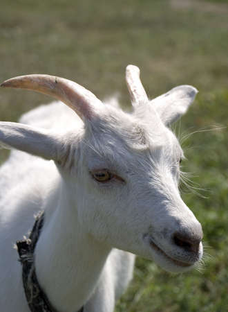 gruff: smiling goat. A goat grazed on a pasture