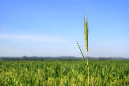 cropcircle: stalks of wheat on a wheaten floor