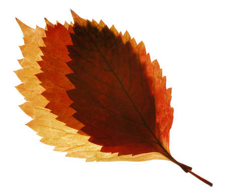 Two autumn leaf. It is isolated on a white background. photo