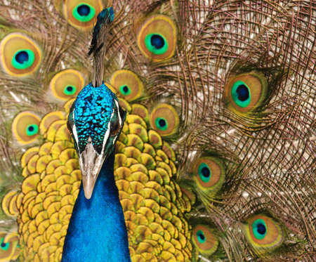 flaunt: The peacock. male birds of the peacock the dismissed bright tail