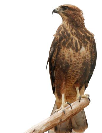 Falcon. Een roof vogel geïsoleerd op een witte achtergrond