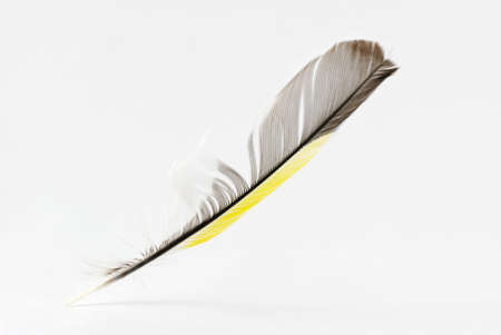 Feather. The bird's feather of yellow, black, grey, white colors is isolated Stock Photo - 3020561