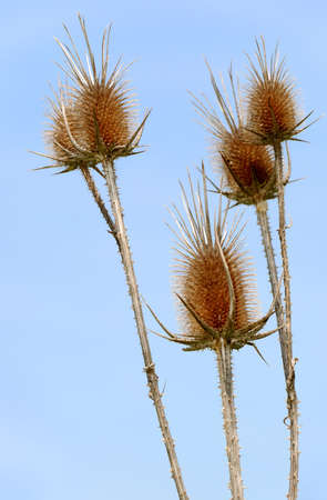 thorns  sharp: Dry prickly weed. A grass having sharp dry thorns Stock Photo
