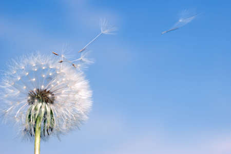Dandelion. A spring flower on a background of the blue sky
