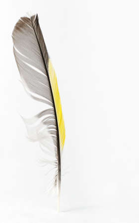 a literary sketch: Feather. The birds feather of yellow, black, grey, white colors is isolated Stock Photo