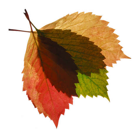 Composition from transparent autumn leaf. It is isolated on a white background. Stock Photo