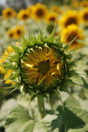 Sunflower not blooming. A blossoming flower of an agricultural kind of a plant from which do oil photo