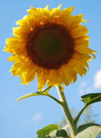 Sunflower. A blossoming flower of an agricultural kind of a plant from which do oil photo