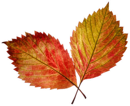 two transparent autumn leaf. It is isolated on a white background. photo