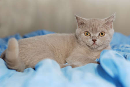 ashy: House cat of ashy color. British short-haired