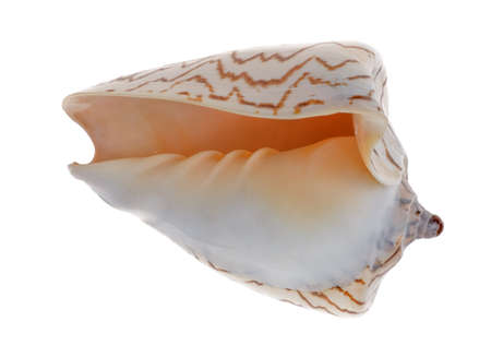 vertebrate: Cockleshell isolated.Kind of protection of a body of vertebrate animals