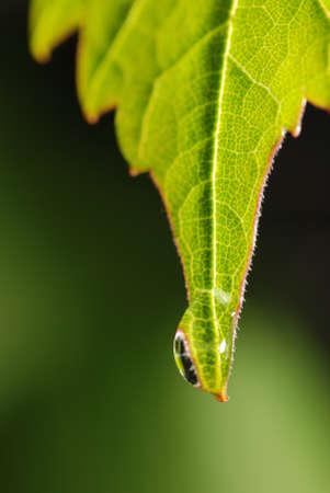 green vegetation: Drops on a leaf. Morning dew on green vegetation