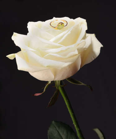 Ring in a white rose. A jewelry on a blossoming bud of a flower photo