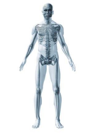 anatomie mens: Menselijk skelet. Het abstracte beeld van de menselijke anatomie via een doorschijnend oppervlak