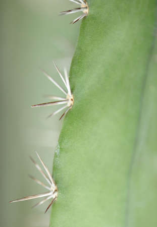 thorn bush: Cactus background. Type of spiny succulent plant