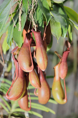insectivorous: Nepenthes. A sort of insectivorous plants of family Nepenthes