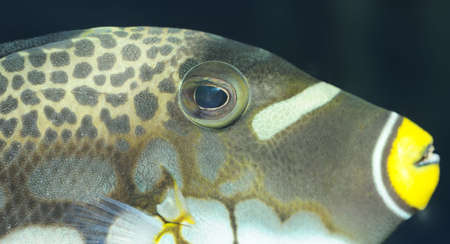 Tropical fish - Clown Triggerfish. The colourful underwater world of the warm seas Stock Photo - 4647586