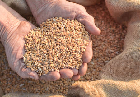 Wheat and hands of the old farmer. Harvesting Stock Photo - 4677435