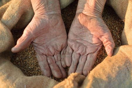 Wheat and hands of the old farmer. Harvesting Stock Photo - 4704996