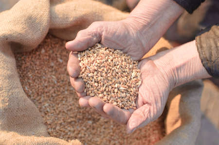Wheat and hands of the old farmer. Harvesting Stock Photo - 4728346