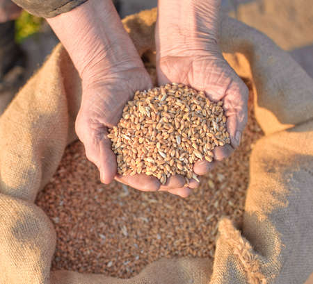 Wheat and hands of the old farmer. Harvesting Stock Photo - 4773447