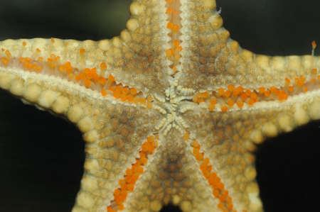 polyp: Starfish. A photo of an alive starfish, with detailed study of its bodies