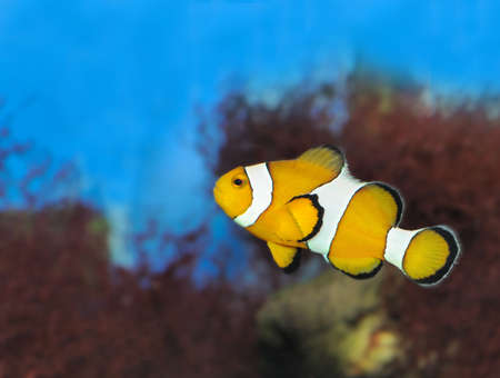 Fish - the clown. A colourful tropical fish under water Stock Photo - 4784575
