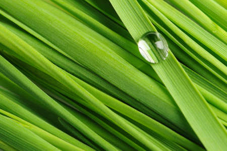 green vegetation: Drops on a grass. Fresh green vegetation with a drop of water close up