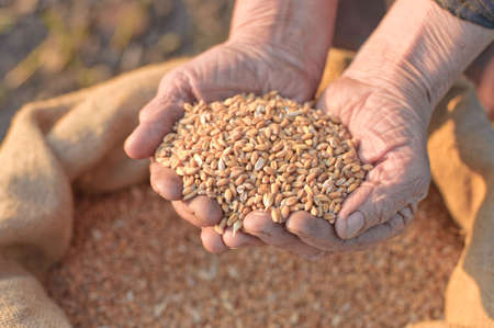 Wheat and hands of the old farmer. Harvesting Stock Photo - 4987617