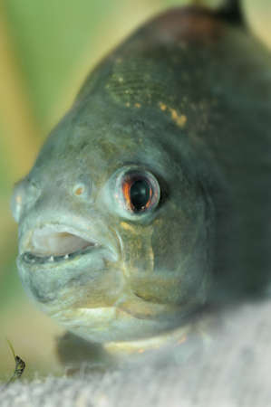 piranha.predatory fish found in South America that attacks other fish animals and occasionally humans photo