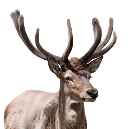 Deer isolated. The ruminant artiodactyl mammal, harmonous, with branchy horns and a short tail.