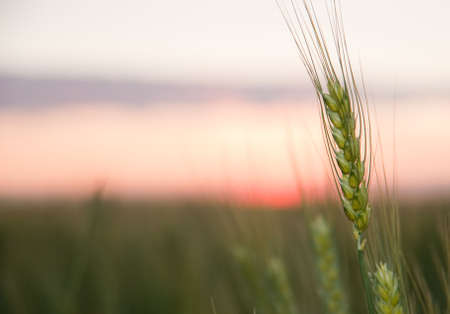 Wheat and sunset. A field of young green wheat in the evening photo