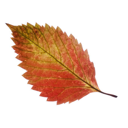3 month: Two autumn leaf. It is isolated on a white background. Stock Photo