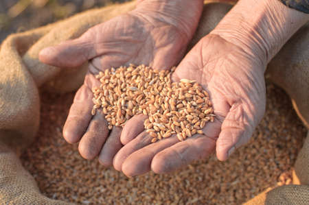 Wheat and hands of the old farmer. Harvesting photo