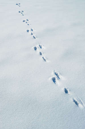 Traces of a hare on a snow. A print of paws on a winter floor photo