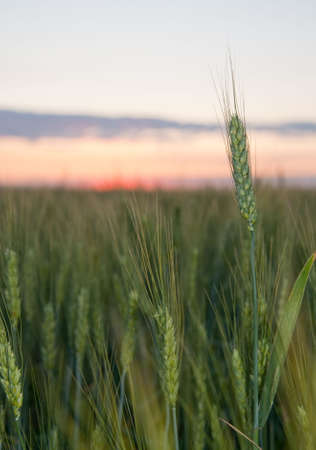 Wheat and sunset. A field of young green wheat in the evening Stock Photo - 6429857